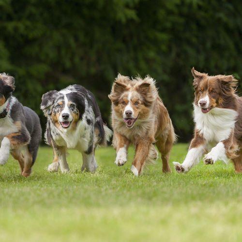 سگ دوانی در ایران به چه شکل است؟